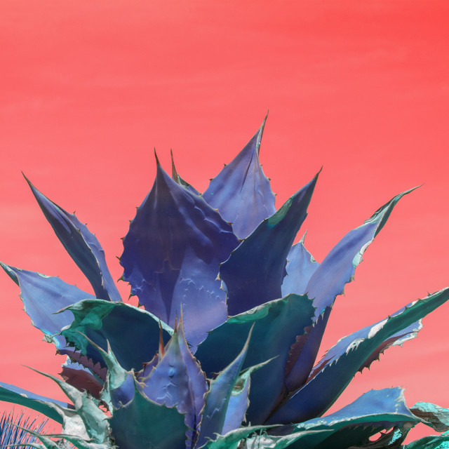 """""""Surrealistic abstract blue succulent agave"""" stock image"""