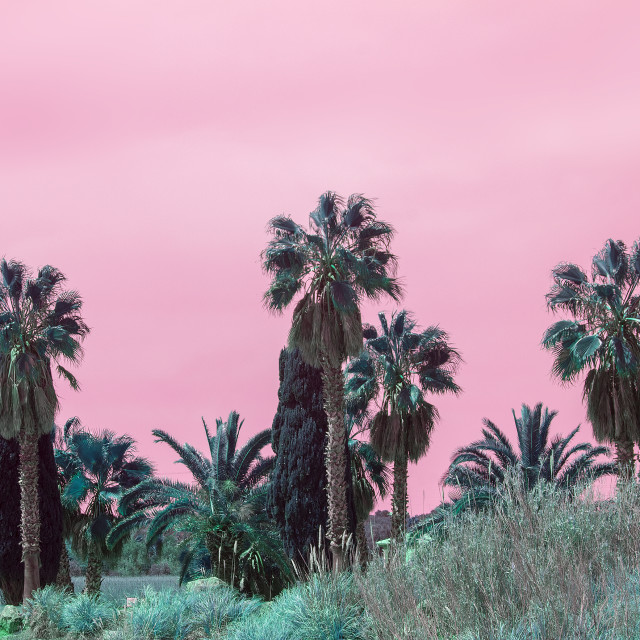 """""""Surrealistic abstract palms against pink skies"""" stock image"""