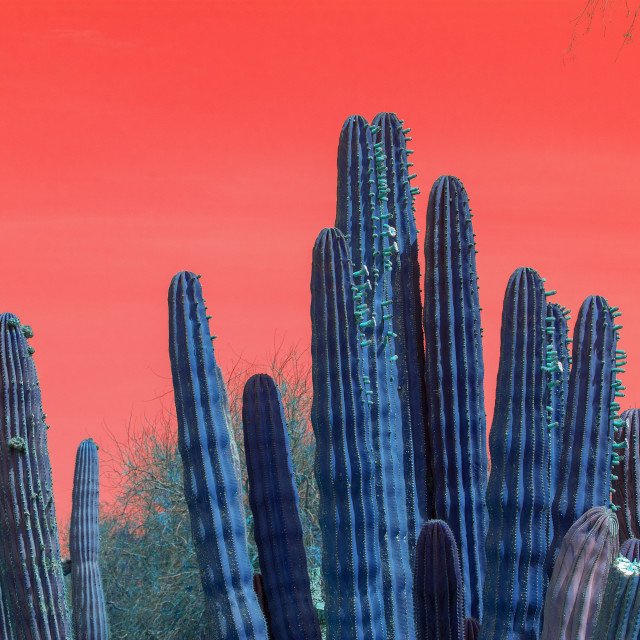 """""""Surrealistic abstract blue cactus with red sky"""" stock image"""