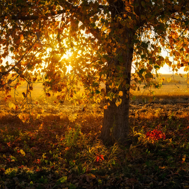 """""""Sunset against a fall tree"""" stock image"""