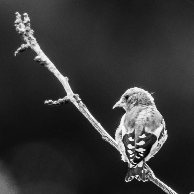 """""""Goldfinch on a branch"""" stock image"""