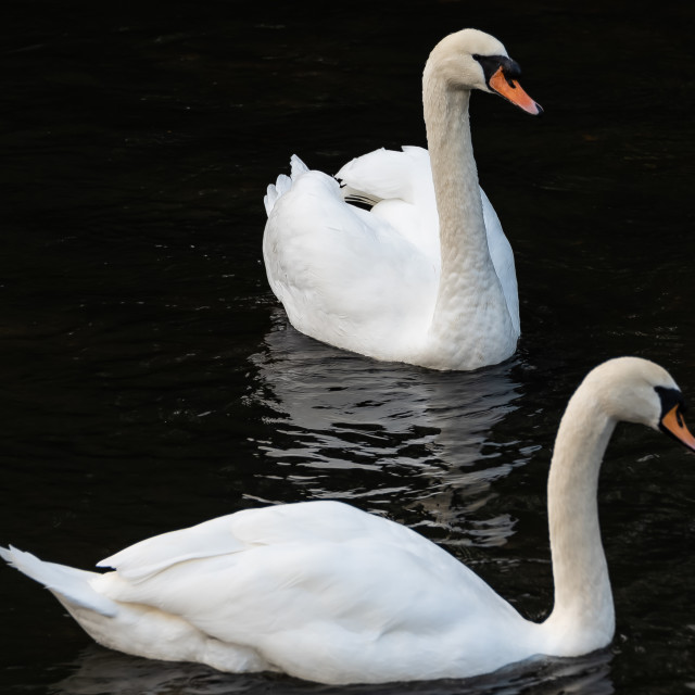 """""""Swans on the river"""" stock image"""