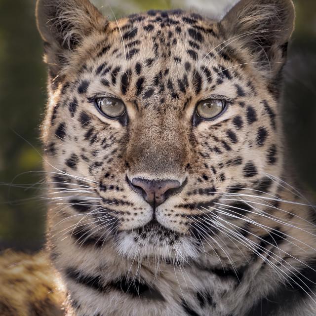 """Female Amur leopard looking into camera"" stock image"