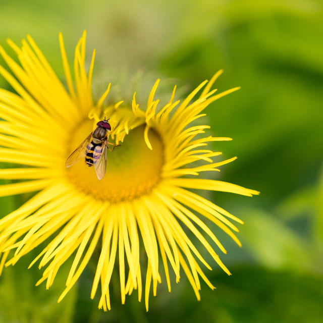 """""""Hover Fly Syrphidae Eupeodes pulling on a yellow flowers petals"""" stock image"""