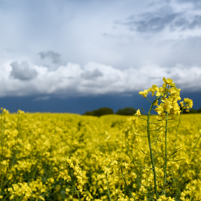 """""""Rapeseed Fields Under Dramatic Sky."""" stock image"""