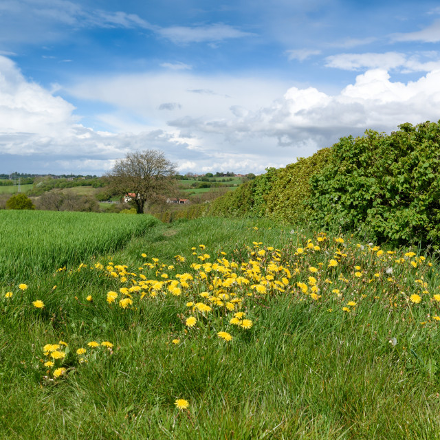 """""""Hedgerows in English contyside."""" stock image"""