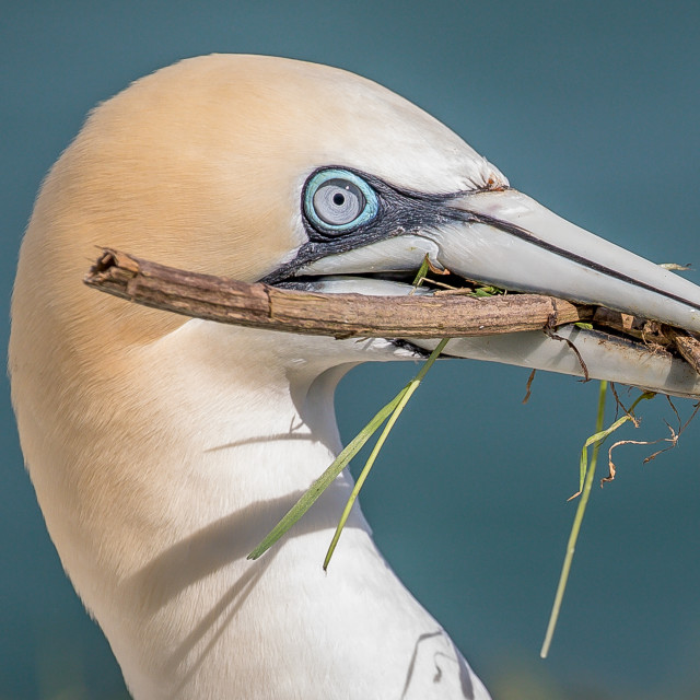 """Gannet with nesting material"" stock image"