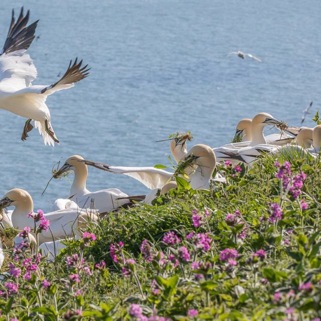"""Gannets with red campion at Bempton Cliffs"" stock image"