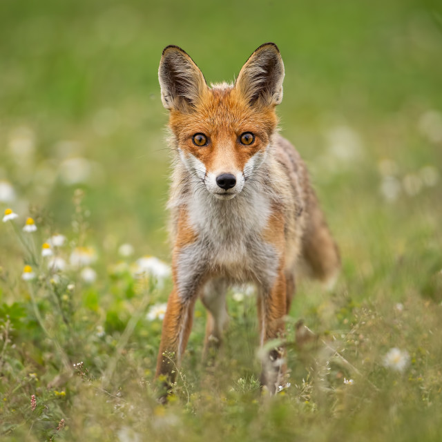 """Young curious red fox on a summer meadow with flowers"" stock image"