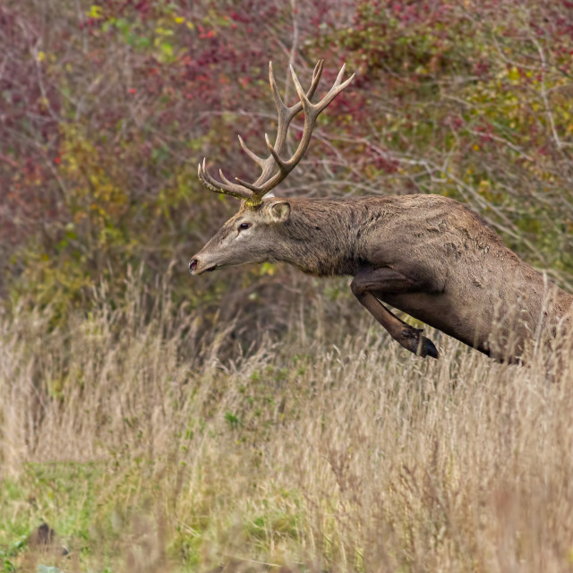 """Red deer stag jumping in high grass in autumn"" stock image"