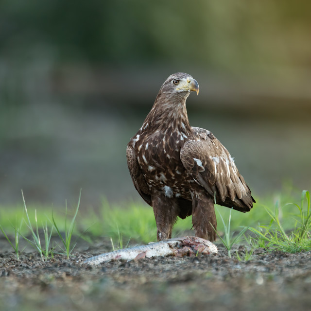 """Juvenile white-tailed eagle eating fish on a river bank in riparian forest"" stock image"