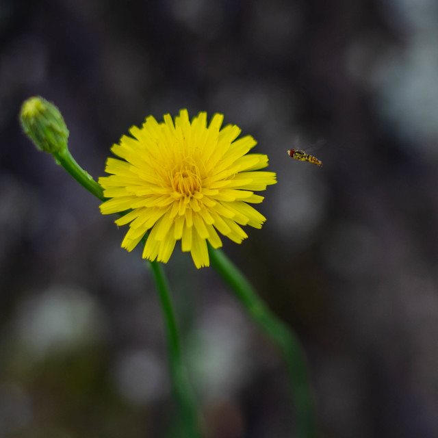 """""""A Dandelion with a Dandy friend"""" stock image"""