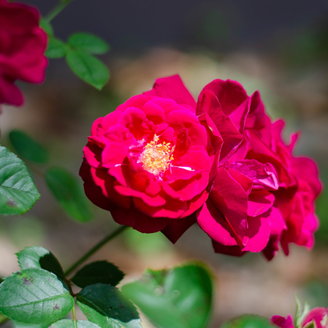 """""""I see your rose in bloom, oh so priceless"""" stock image"""