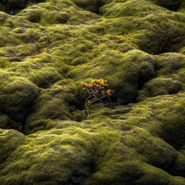 """""""Birch Tree Among the Moss in Iceland"""" stock image"""