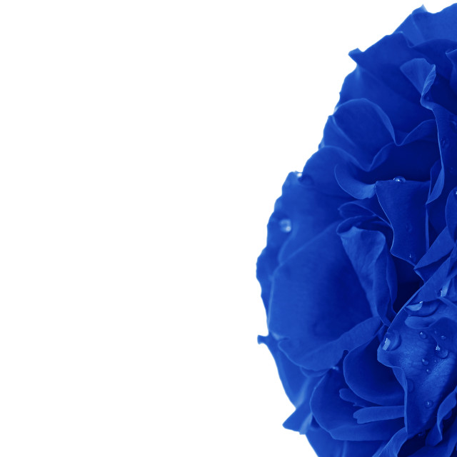 """Rose in Blue"" stock image"
