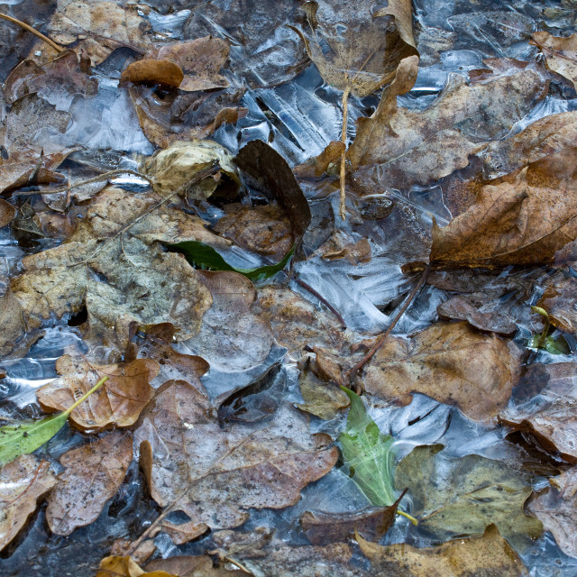 """Frozen Leaves"" stock image"