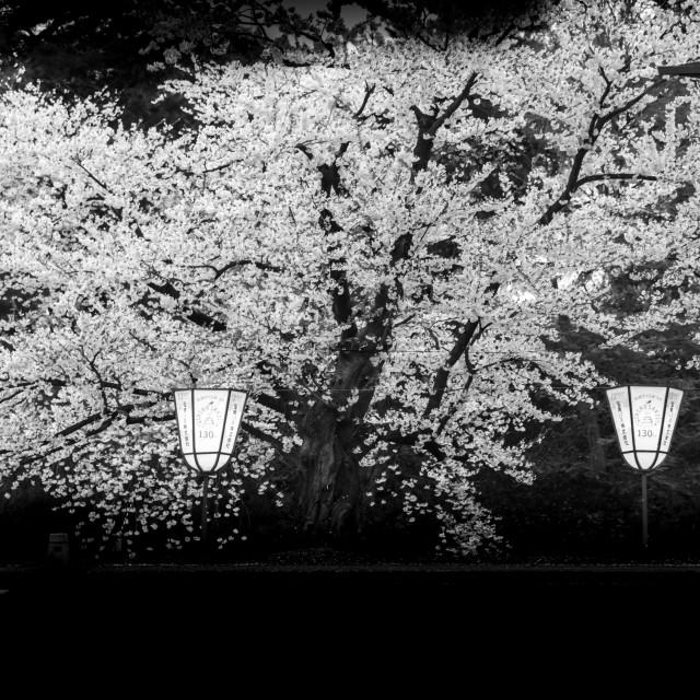 """""""sakura tree - hirosaki"""" stock image"""