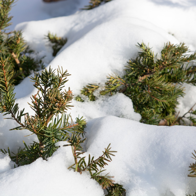 """Melting snow on a coniferous tree"" stock image"