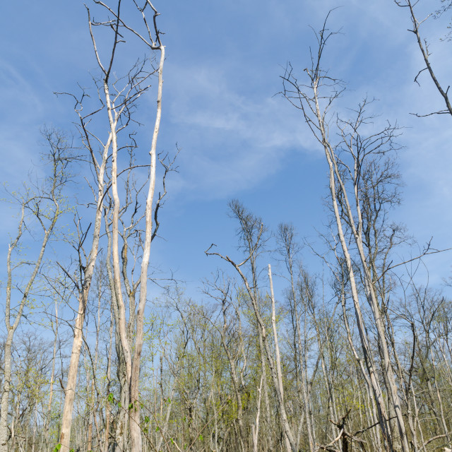 """""""Elm trees damaged by the dutch elm disease in a bright swedish f"""" stock image"""