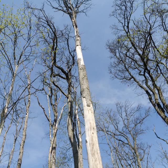 """Damaged elm trees by dutch elm disease"" stock image"