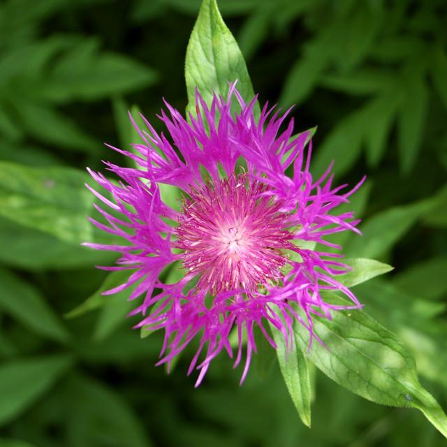 """Cornflower"" stock image"