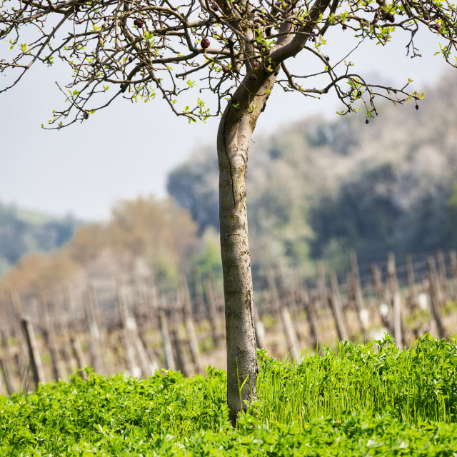 """""""Small tree in the vineyards. Color image"""" stock image"""