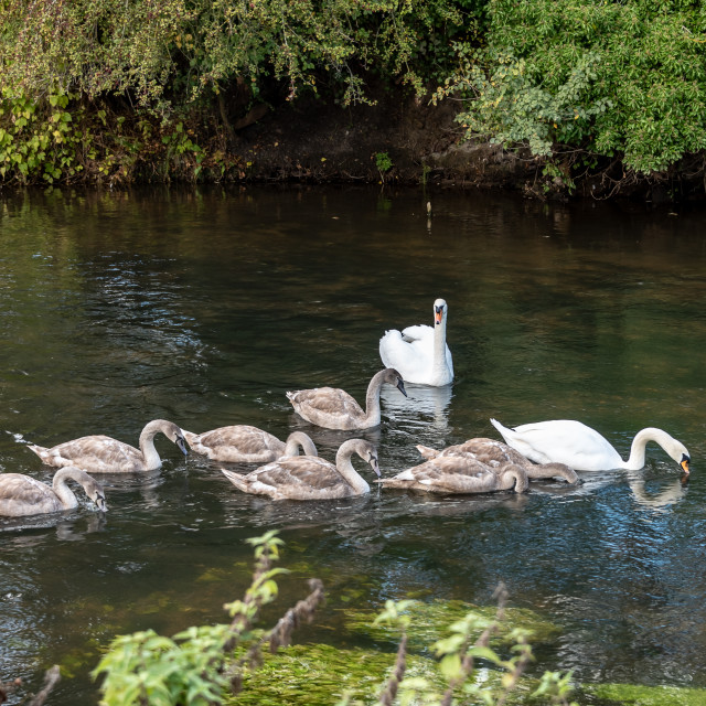 """""""Swans with Eight Signets"""" stock image"""