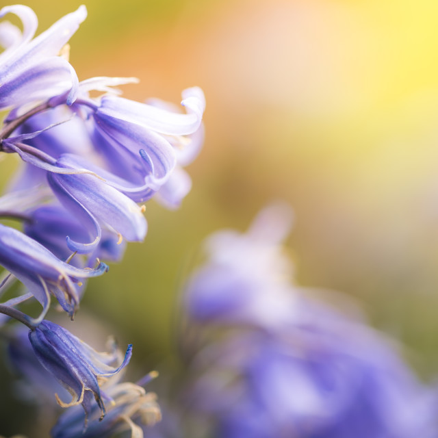 """Really dreamy bluebells"" stock image"