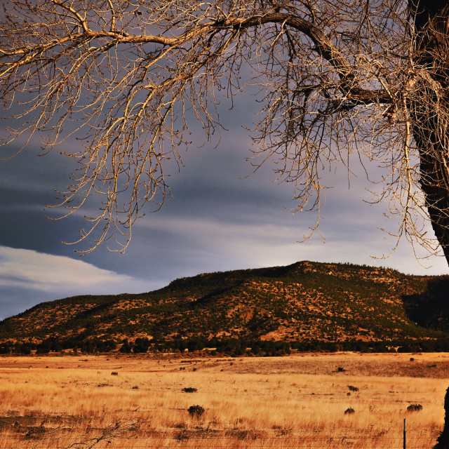 """""""A gnarly tree with droopy bare branches overhanging a pasture and tree covered mountains in a morning Colorado landscape"""" stock image"""