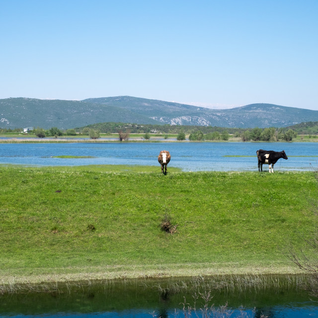 """""""Two cows in a field by a lake"""" stock image"""