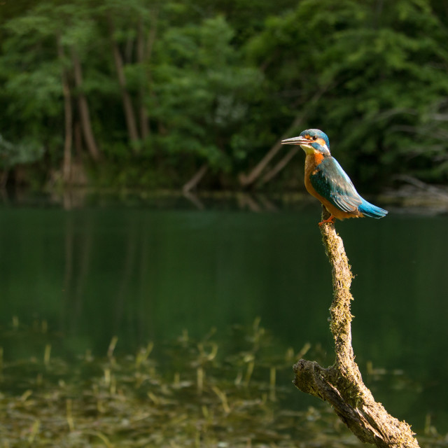 """Wide angle of common kingfisher sitting on a branch above water looking for fish"" stock image"