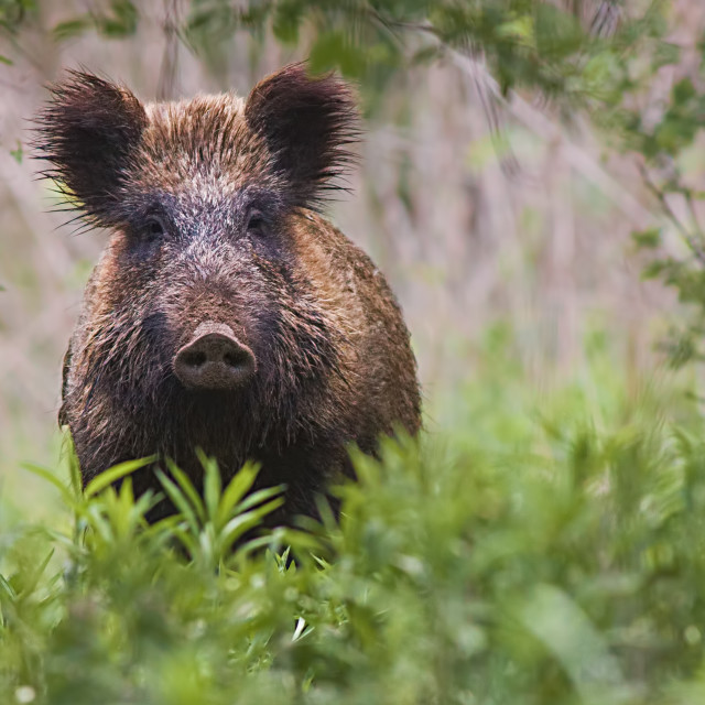 """wild boar, sus scrofa, standing in tall vegetation in spring forest."" stock image"
