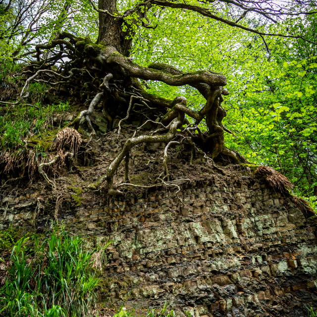 """""""A tree clings by its roots on a hillside as erosion exposes the diverse multiple layers of rock beneath. By the river Dane. Cheshire in the Peak District, UK."""" stock image"""