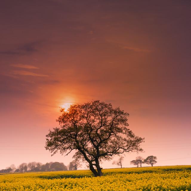 """Hazy Oilseed Sunset"" stock image"