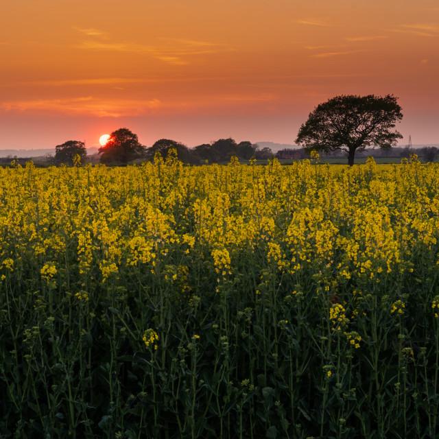 """""""Oilseed Sunset"""" stock image"""