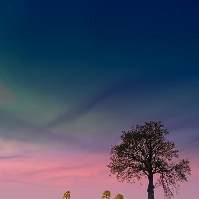 """""""The blue-lit oilseed tree"""" stock image"""