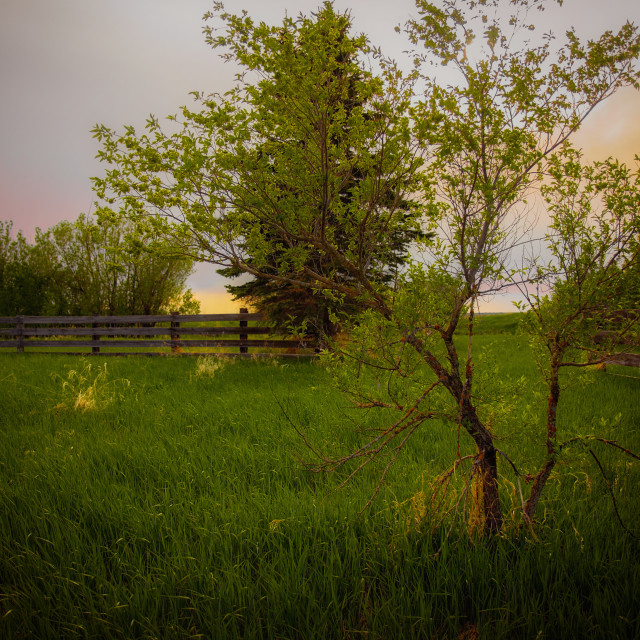 """""""A tall tree and green grass in a wood plank fence under a sunset in a countryside summer landscape"""" stock image"""