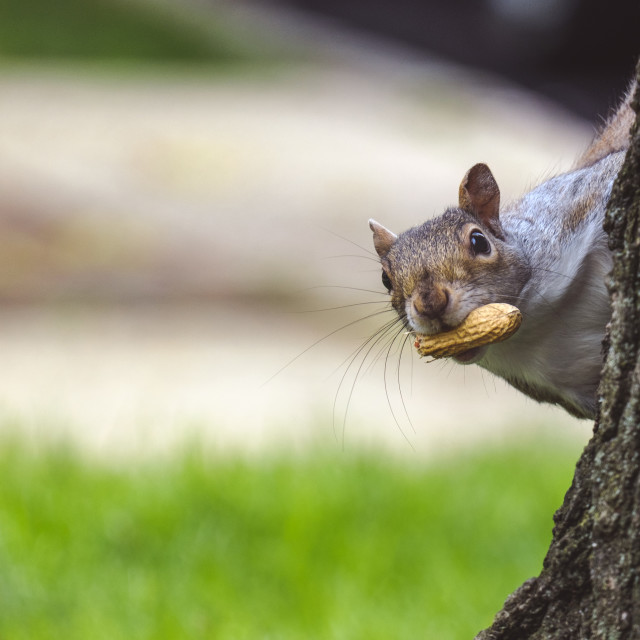 """""""Gray squirrel looking behind the tree"""" stock image"""
