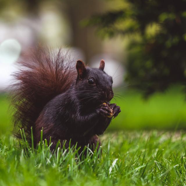 """Black squirrel eating nut"" stock image"