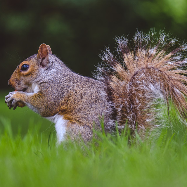 """""""Squirrel eating nut"""" stock image"""
