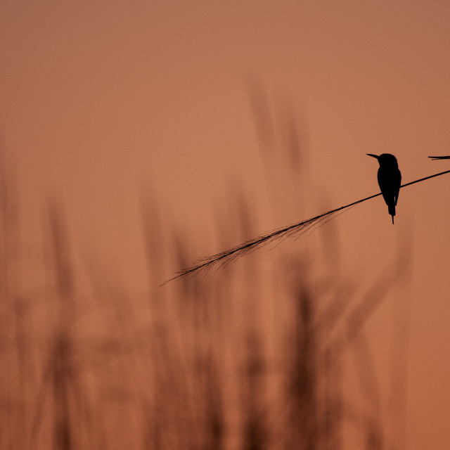 """silhouette of bird in sunset"" stock image"