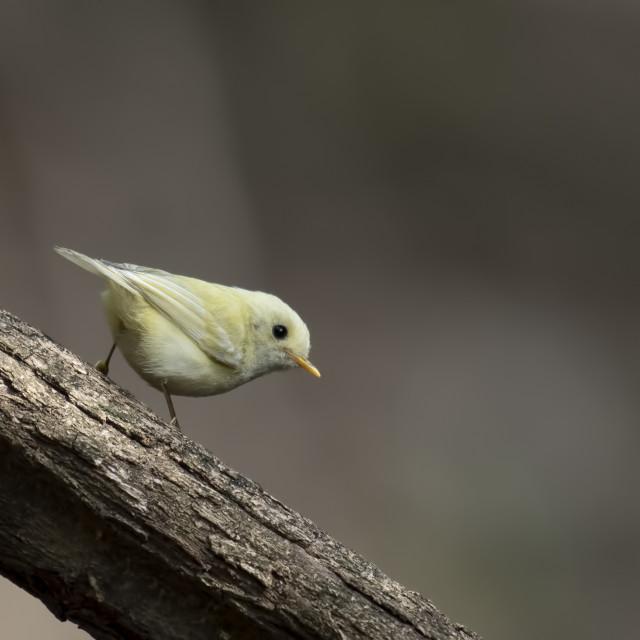 """Leucistic warbler"" stock image"