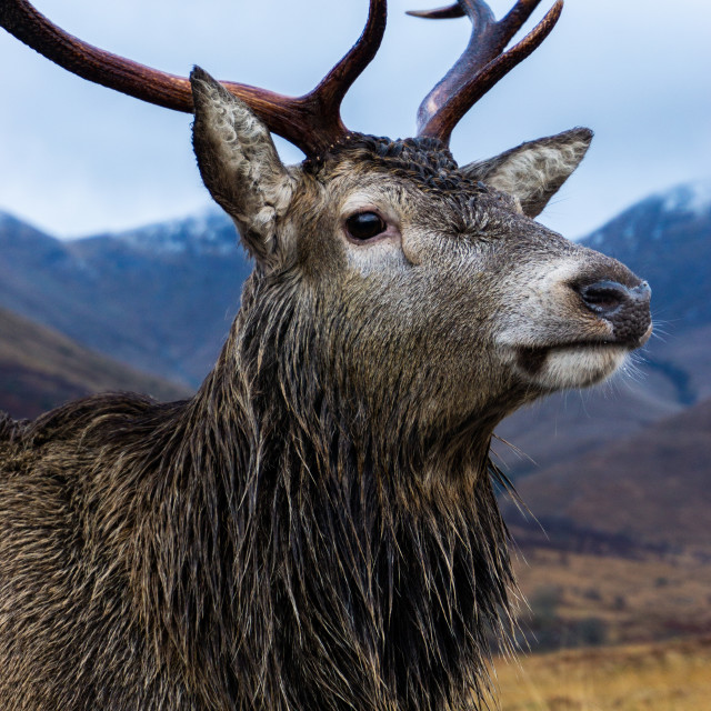 """""""Red Deer Stag Bust"""" stock image"""