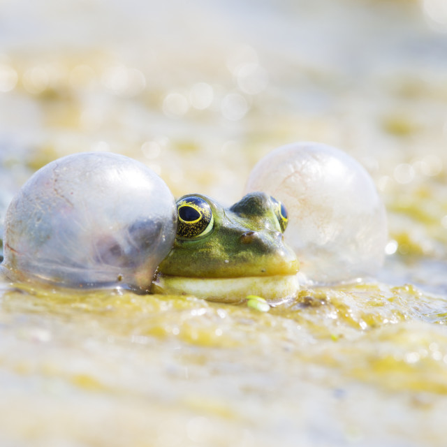 """""""Marsh Frog blowing up its cheeks"""" stock image"""