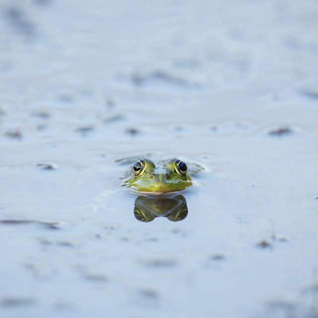 """Marsh Frog with reflection"" stock image"