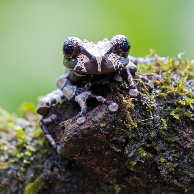 """Crowned Tree Frog"" stock image"