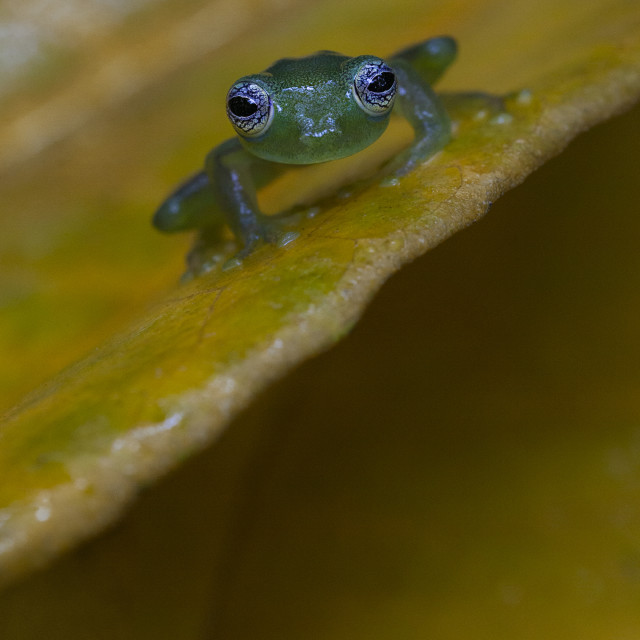 """Spiny Glass Frog"" stock image"