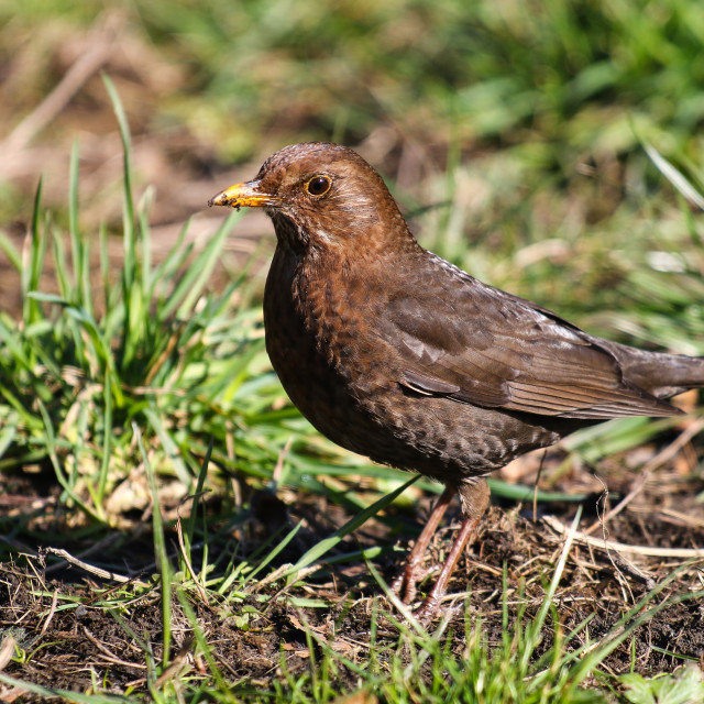 """Female blackbird"" stock image"