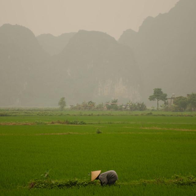 """rice dreams"" stock image"