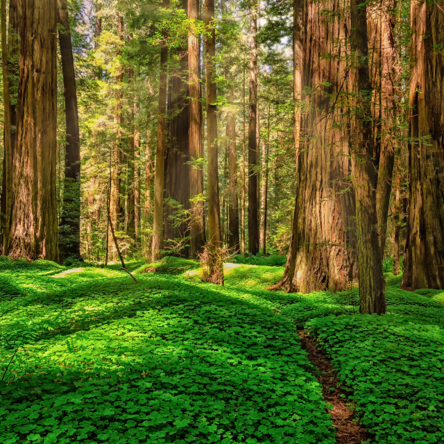 """Redwood Forest Landscape in Beautiful Northern California"" stock image"